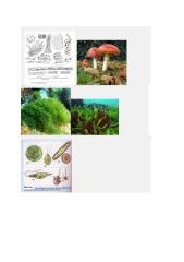 Tipos de Algas Microscopicas.docx